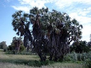 Hyphaene thebaica - Hyphaene thebaica - Doum palm