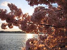 IMG 2436 - Washington DC - Tidal Basin - Cherry Blossoms.JPG