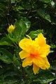 IMG 8143 Hibiscus Photographed by Peak Hora.jpg