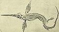 Ichthyosaurus tenuirostris.jpg