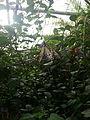 Idea Leuconoe (Large Tree Nymph) - Chester Zoo 01.jpg