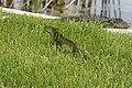 Iguana iguana (30140859315).jpg