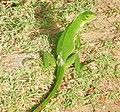 Iguana iguana (juvenile).jpg