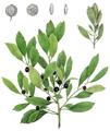 Ilex glabra (Prinos glaber), Torrey's Flora of NY 2-01.png