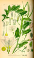 Illustration Convolvulus arvensis0.jpg