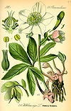 Illustration Helleborus niger0.jpg