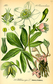 Hellebore - Wikipedia, the free encyclopedia