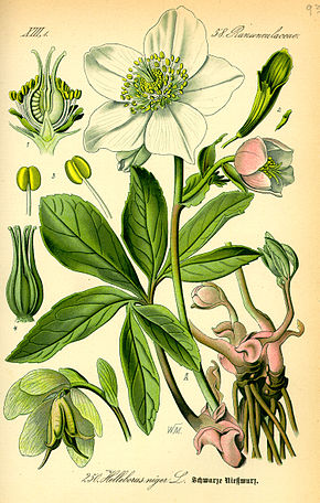 Description de l'image Illustration Helleborus niger0.jpg.