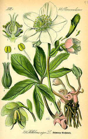 Hellebore - 19th century illustration of Helleborus niger