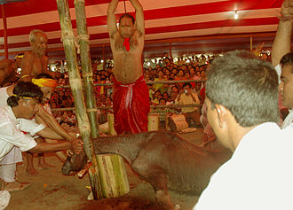 Animal sacrifice in Hinduism - A male buffalo calf about to be sacrificed by a priest in the Durga Puja festival. The buffalo sacrifice practice, however, is rare in contemporary India.