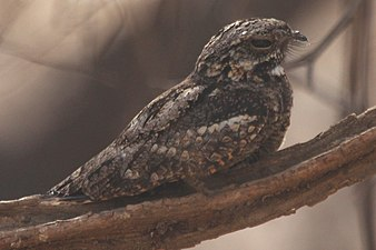 Indian Jungle Nightjar - Caprimulgus indicus - Ranthambore.jpg