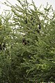 Indian flying fox (Pteropus giganteus) from Ranganathittu Bird Sanctuary JEG4403.JPG