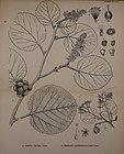 Indian medicinal plants (Plate 151) (7824443678).jpg