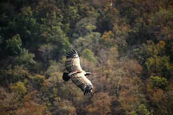 Indian vulture @ Bandhavgarh National Park.jpg