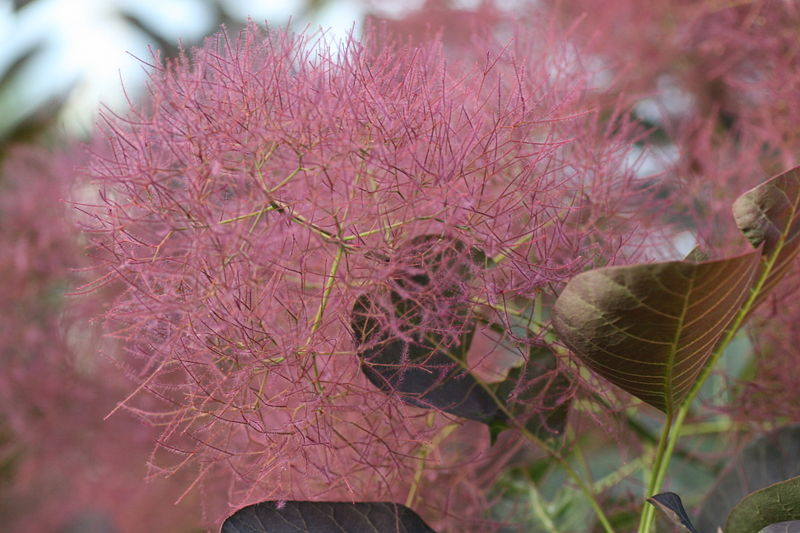 inflorescences du cotinus