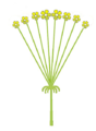 Inflorescence morphology simple umbel determinate.png