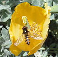 Insect on another yellow flower.jpg