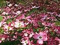 Inside-a-pink-dogwood - West Virginia - ForestWander.jpg