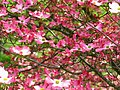 Inside-pink-dogwood-tree-flowers - West Virginia - ForestWander.jpg
