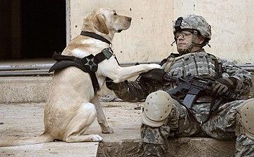 Coloriage Chien Militaire.Chien De Guerre Wikipedia