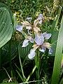 Iris foetidissima01.jpg