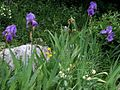 Iris pallida ssp. cengialti PID1626-1.jpg