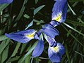 Iris prismatica NRCS-4x3.jpg