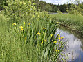 Iris pseudacorus Oulu, Finland 12.06.2013 img 1.jpg