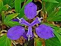 Iris tectorum 003.JPG