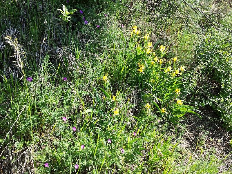File:Iris variegata sl30.jpg