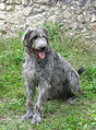 Irish Wolfhound.jpg