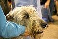 Irish wolfhound (7982315230).jpg