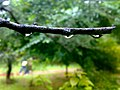 JNU Rain Drops over Tree Branch.jpg