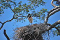 Jabiru mycteria -Mato Grosso, Brazil -adult on nest-8.jpg