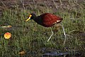 Jacana spinosa Crooked Tree 1.JPG