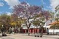 Jacaranda mimosifolia - Funchal 01.jpg