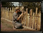Jack Whinery, homesteader, repairing fence which he built with slabs 1a34168v.jpg