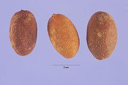 Jasminum dichotomum - Fruit.jpg