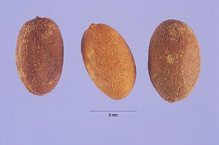 <i>Jasminum dichotomum</i> Species of jasmine