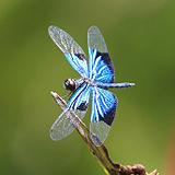 Jewel flutterer 9536.jpg