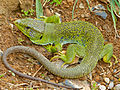 Jewelled Lizard (Timon lepidus) male found under a stone by Jean NICOLAS (14166347788).jpg