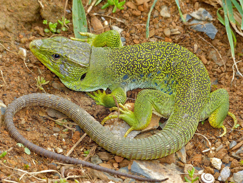 Jewelled Lizard (Timon lepidus) male found under a stone by Jean NICOLAS (14166347788).jpg