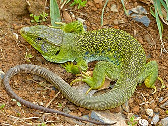 Ocellated lizard - Timon lepidus, male