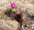 Joshua Tree National Park - Hedgehog Cactus (Echinocereus engelmannii) - 02.JPG