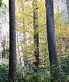 Joyce-kilmer-tree-nc6.jpg