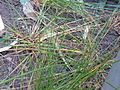 Juncus effusus (DITSL).JPG