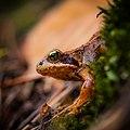 Junger Grasfrosch (Rana temporaria) im Naturpark Pfälzerwald 2.jpg