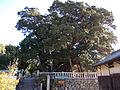 Juniperus chinensis var. sargentii.jpg