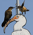Juvenile Grackle Dispute - Flickr - Andrea Westmoreland.jpg