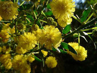 Acacia paradoxa - Kangaroo Thorn flower